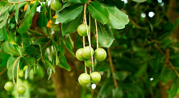 マカダミアナッツ 〈健康に美容に、注目のナッツ〉