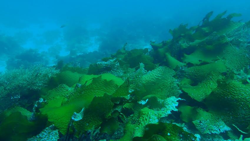 島根県西ノ島の褐藻ツルアラメに抗アレルギー作用